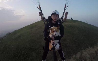 В Китае состоялись массовые полеты собак-корги на парапланах